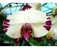 Phalaenopsis PH 290