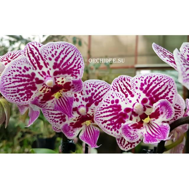 Phalaenopsis PH 292 Big Lip