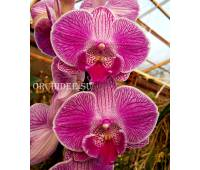 Phalaenopsis PH 295 Big Lip