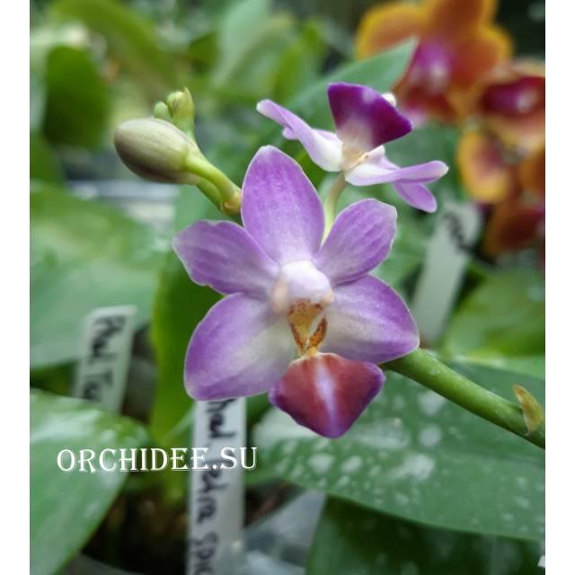Phalaenopsis Evarise Blue Angel