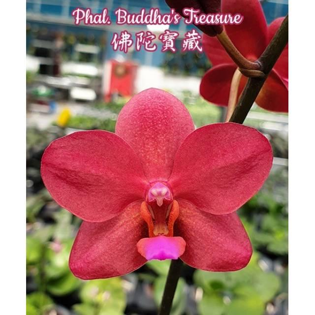 Phalaenopsis Buddha's Tresure