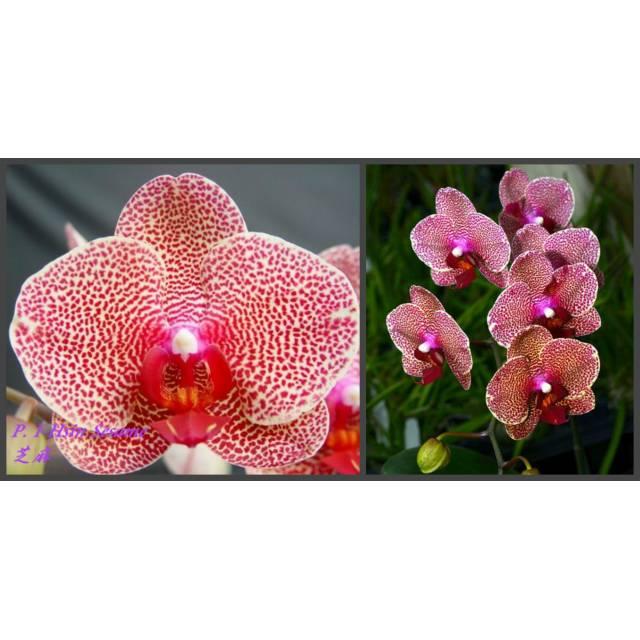 Phalaenopsis I-Hsin Sesame