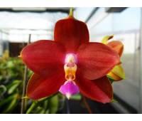 Phalaenopsis LD's Bear King RK-4