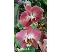 Phalaenopsis Leco Fantastic 'LI045-2'