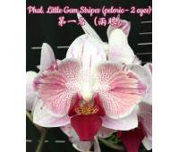 Phalaenopsis Little Gem Stripes (peloric - 2 eyes)