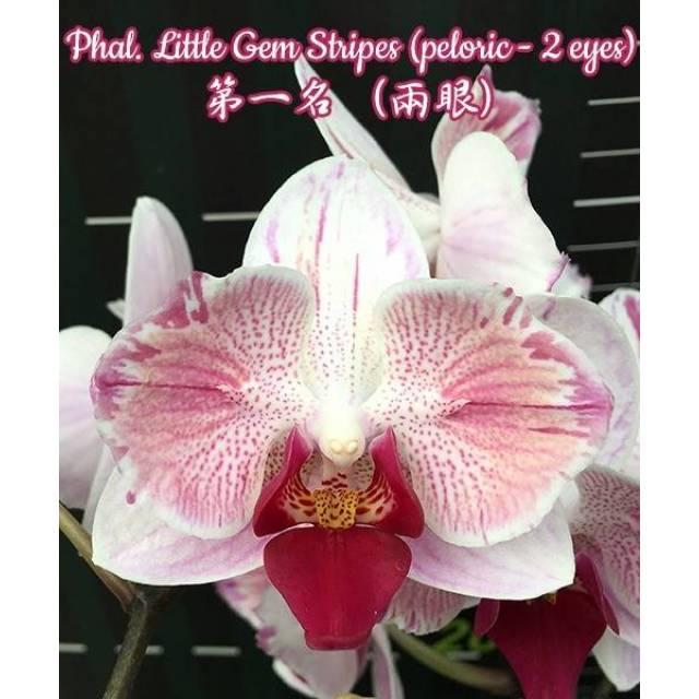 Phalaenopsis Little Gem Stripes (peloric - 2 eyes)