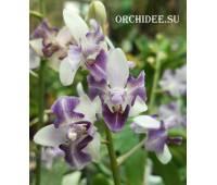 Phalaenopsis Memoria Val Rettig (peloric)