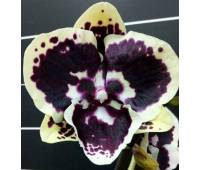 Phalaenopsis Miki Brown Bear '1217'