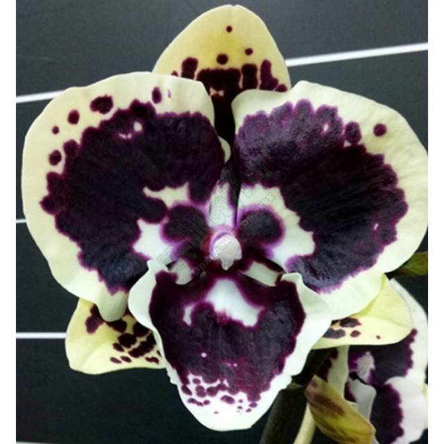 Phalaenopsis Miki Brown Bear '1217'