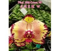 Phalaenopsis Miki Crown '16' SM/TOGA