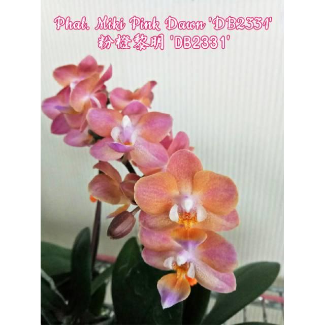 Phalaenopsis Miki Pink Dawn 'DB2331'
