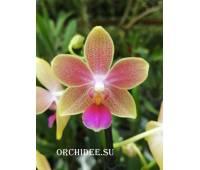Phalaenopsis Rainbow Sand