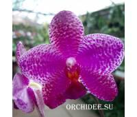 Phalaenopsis Sentra x Black Eagle