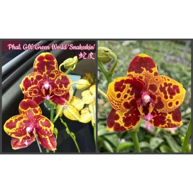"Phalaenopsis GW Green World ""Snakeskin"""