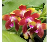 Phalaenopsis Tying Shin Fly Eagle '160'