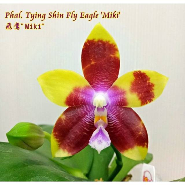 Phalaenopsis Tying Shin Fly Eagle 'Miki'