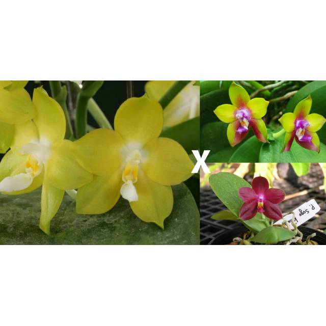 Phalaenopsis Nobby's Green Eagle x (Sogo Kaiulani-Dragon Tree Eagle)