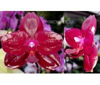 Phalaenopsis Sogo Relex