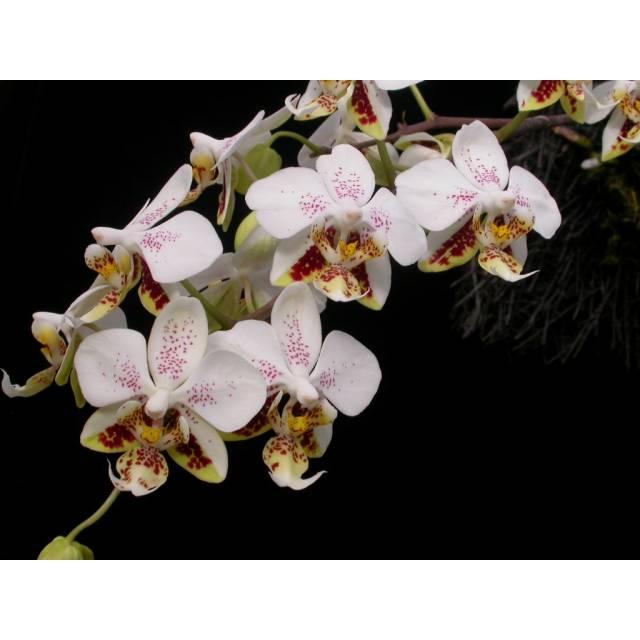 Phalaenopsis stuartiana 'Sogo' HCC/AOS