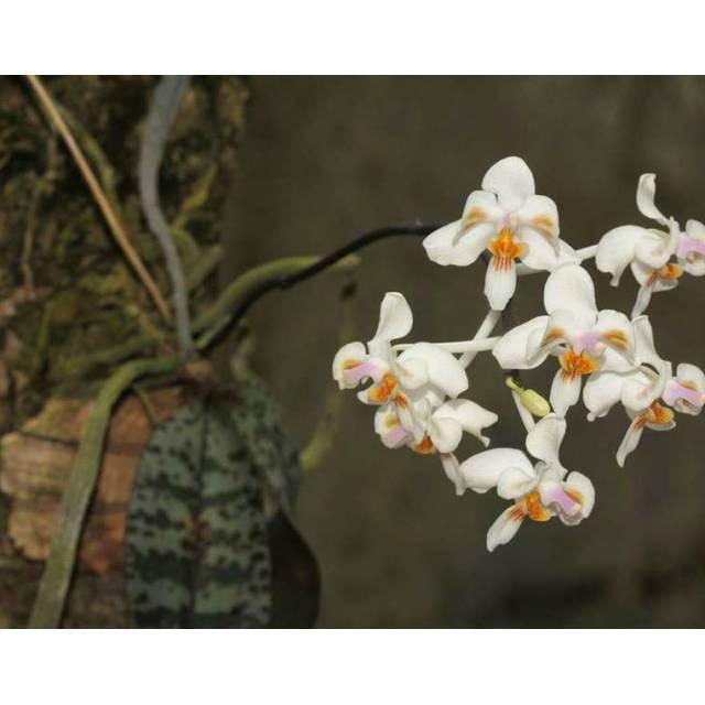 Phalaenopsis celibensis x sib