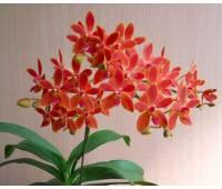 Phalaenopsis equestris x Renanthera storiei