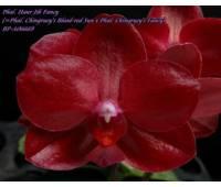Phalaenopsis Haur Jih Fancy 'A06669'