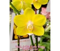 Phalaenopsis I-Hsin Cutie Honey