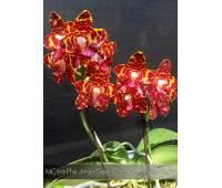 Phalaenopsis Jong's Gigan Cherry 'Prince' AM/AOS