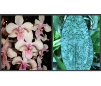 Phalaenopsis lindenii x celebensis