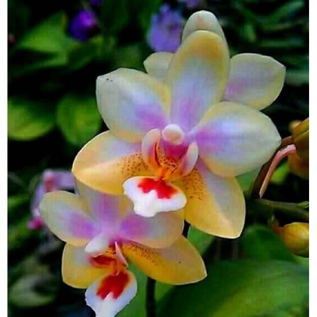Phalaenopsis Miki Strawberry Milkshake 'LZ200-1'