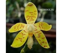 Phalaenopsis pallens x sib