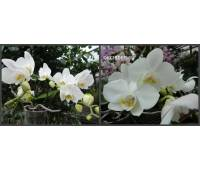 Phalaenopsis PH 262 Nouveau