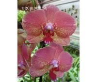 Phalaenopsis PH 267
