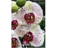 Phalaenopsis PH 282