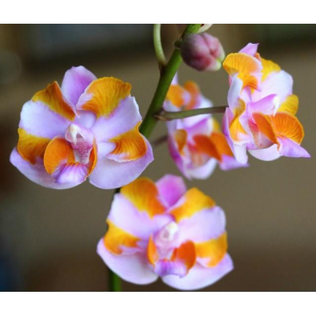 Phalaenopsis pulcherrima '4N'