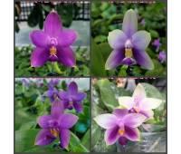 Phalaenopsis Samera blue x sib