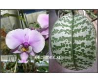 Phalaenopsis schilleriana 'MSH'