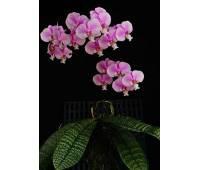 Phalaenopsis schilleriana 'TKB'