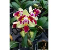 Phalaenopsis Sogo Gotris ES