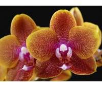 Phalaenopsis Sogo Lawrense