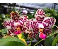 Phalaenopsis Sogo Lobby