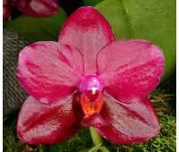 Phalaenopsis Sogo Relex '1661'
