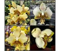 Phalaenopsis stuartiana f.nobilis x sib