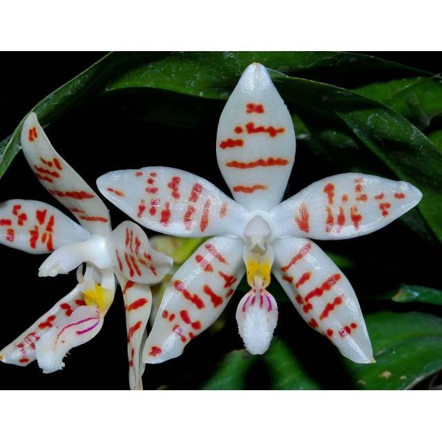 "Phalaenopsis zebrina ""Palawan"""