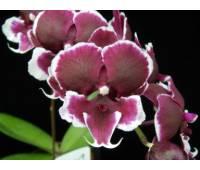 Phalaenopsis Young Pearl