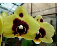 Phalaenopsis PHM 021