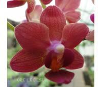 Phalaenopsis PHM 007 Tzu Chiang Glint