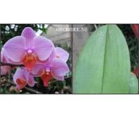 Phalaenopsis PHM 026