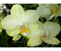 Phalaenopsis PHM 027 Golden Dawn