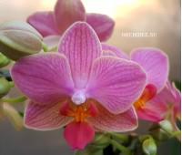 Phalaenopsis PHM 042